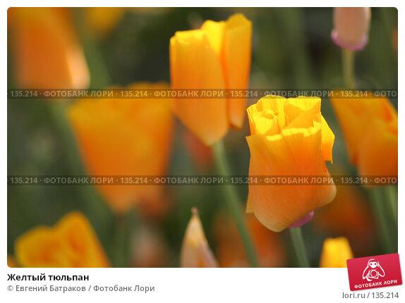 Купить «Желтый тюльпан», фото № 135214, снято 12 августа 2007 г. (c) Евгений Батраков / Фотобанк Лори