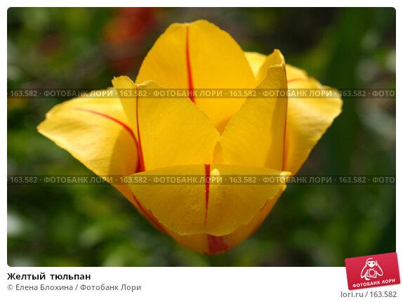 Желтый  тюльпан, фото № 163582, снято 19 мая 2007 г. (c) Елена Блохина / Фотобанк Лори