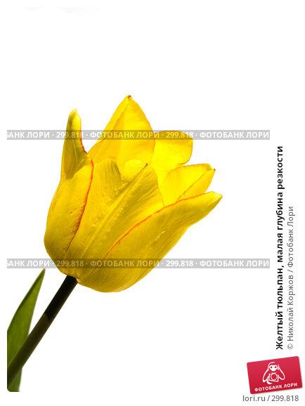 Желтый тюльпан, малая глубина резкости, фото № 299818, снято 17 мая 2008 г. (c) Николай Коржов / Фотобанк Лори