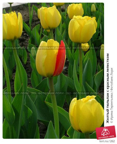 Желтый тюльпан с красным лепестком, эксклюзивное фото № 262, снято 10 мая 2004 г. (c) Ирина Терентьева / Фотобанк Лори