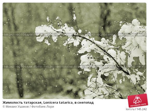 Жимолость татарская, Lonicera tatarica, в снегопад, фото № 145242, снято 27 ноября 2007 г. (c) Михаил Ушаков / Фотобанк Лори