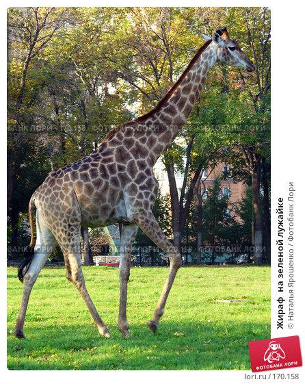 Жираф  на зеленой лужайке, фото № 170158, снято 23 сентября 2006 г. (c) Наталья Ярошенко / Фотобанк Лори