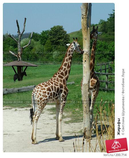 Жирафы, фото № 200714, снято 9 мая 2006 г. (c) Светлана Шушпанова / Фотобанк Лори