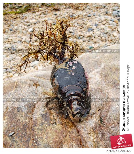 Купить «Живая мидия на камне», фото № 4201322, снято 12 сентября 2012 г. (c) Севостьянова Татьяна / Фотобанк Лори