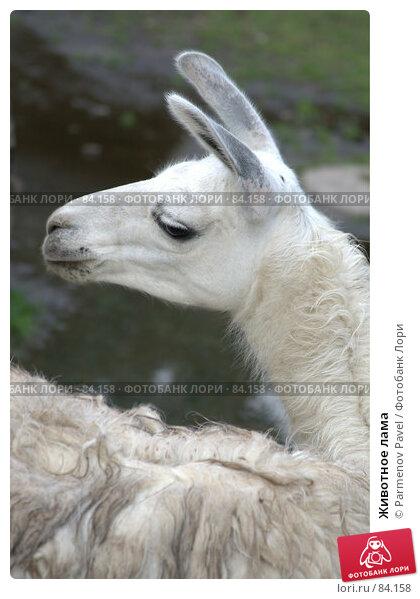 Купить «Животное лама», фото № 84158, снято 4 сентября 2007 г. (c) Parmenov Pavel / Фотобанк Лори
