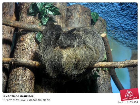 Животное ленивец, фото № 153874, снято 11 декабря 2007 г. (c) Parmenov Pavel / Фотобанк Лори