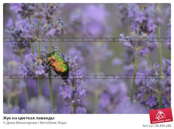 Жук на цветках лаванды. Стоковое фото, фотограф Дина Моногарова / Фотобанк Лори