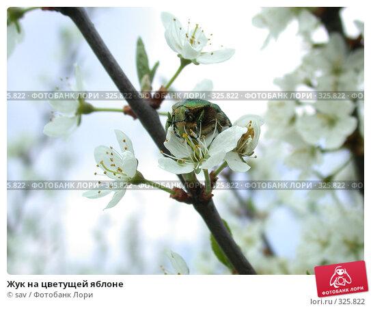 Жук на цветущей яблоне, фото № 325822, снято 1 мая 2005 г. (c) sav / Фотобанк Лори