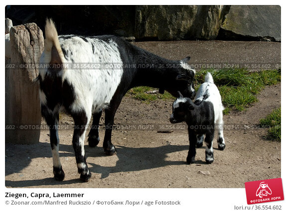 Ziegen, Capra, Laemmer. Стоковое фото, фотограф Zoonar.com/Manfred Ruckszio / age Fotostock / Фотобанк Лори