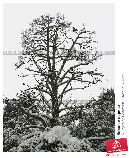 Купить «Зимнее дерево», фото № 28294, снято 23 февраля 2006 г. (c) Надежда Болотина / Фотобанк Лори