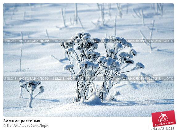 Зимние растения, фото № 218218, снято 26 июня 2017 г. (c) ElenArt / Фотобанк Лори