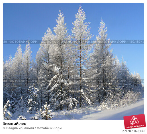 Купить «Зимний лес», фото № 160130, снято 23 декабря 2007 г. (c) Владимир Ильин / Фотобанк Лори