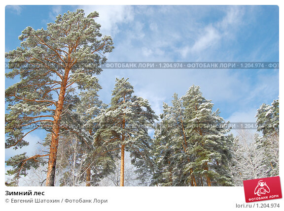 Зимний лес. Стоковое фото, фотограф Евгений Шатохин / Фотобанк Лори
