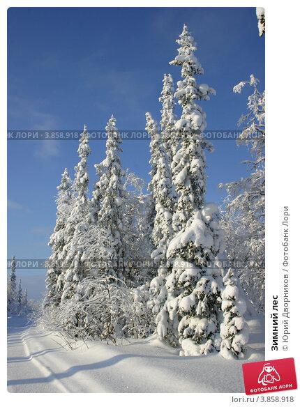 Зимний лес. Стоковое фото, фотограф Юрий Дворников / Фотобанк Лори
