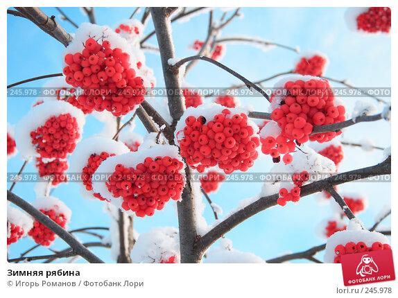 Зимняя рябина, фото № 245978, снято 9 декабря 2007 г. (c) Игорь Романов / Фотобанк Лори
