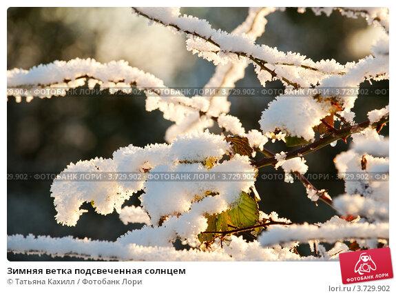 Купить «Зимняя ветка подсвеченная солнцем», фото № 3729902, снято 8 декабря 2010 г. (c) Татьяна Кахилл / Фотобанк Лори