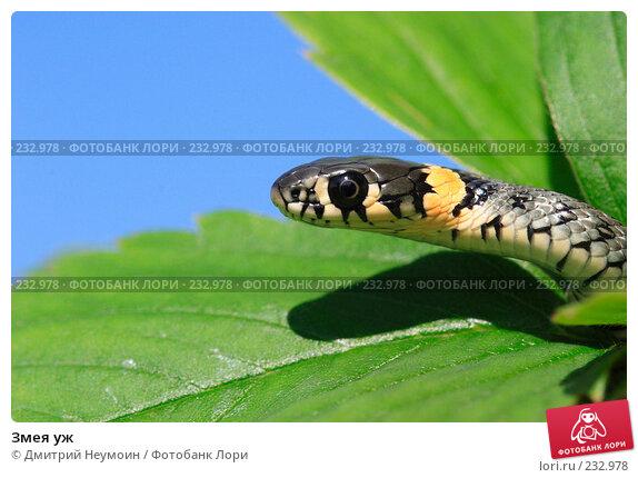 Змея уж, эксклюзивное фото № 232978, снято 17 августа 2005 г. (c) Дмитрий Неумоин / Фотобанк Лори