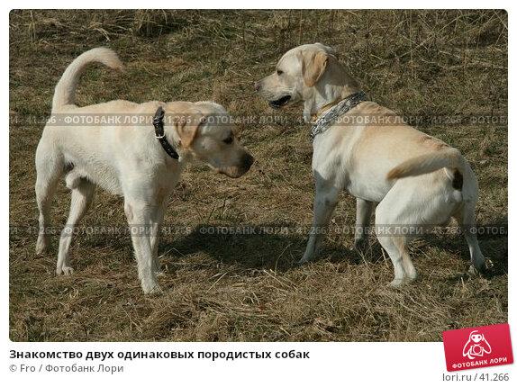 Знакомство двух одинаковых породистых собак, фото № 41266, снято 14 апреля 2007 г. (c) Fro / Фотобанк Лори
