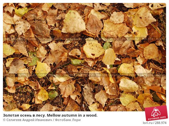Золотая осень в лесу. Mellow autumn in a wood., фото № 288974, снято 1 октября 2006 г. (c) Селигеев Андрей Иванович / Фотобанк Лори