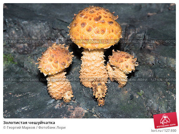 Золотистая чешуйчатка, фото № 127930, снято 30 сентября 2006 г. (c) Георгий Марков / Фотобанк Лори