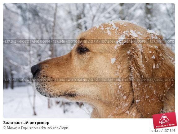 Золотистый ретривер, фото № 137346, снято 21 января 2005 г. (c) Максим Горпенюк / Фотобанк Лори