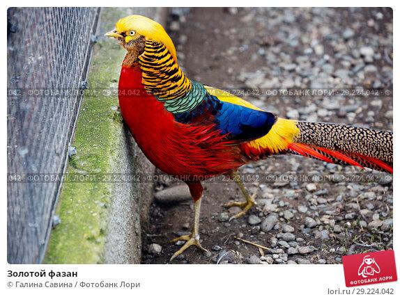 Купить «Золотой фазан», фото № 29224042, снято 14 апреля 2015 г. (c) Галина Савина / Фотобанк Лори
