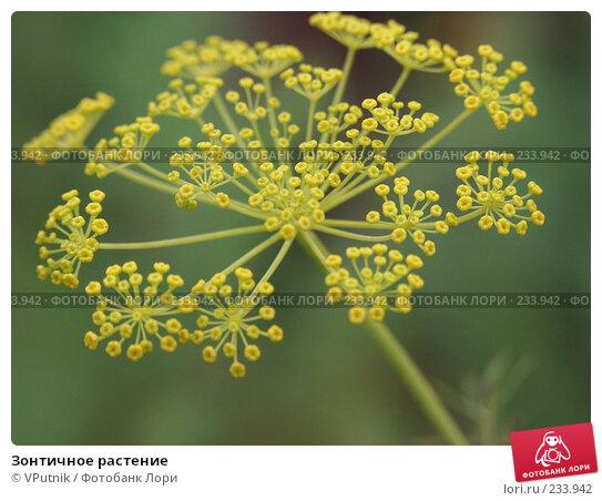 Зонтичное растение, фото № 233942, снято 22 августа 2004 г. (c) VPutnik / Фотобанк Лори