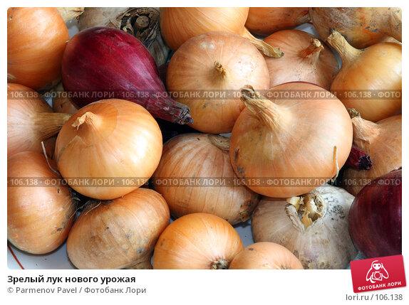 Зрелый лук нового урожая, фото № 106138, снято 27 октября 2007 г. (c) Parmenov Pavel / Фотобанк Лори