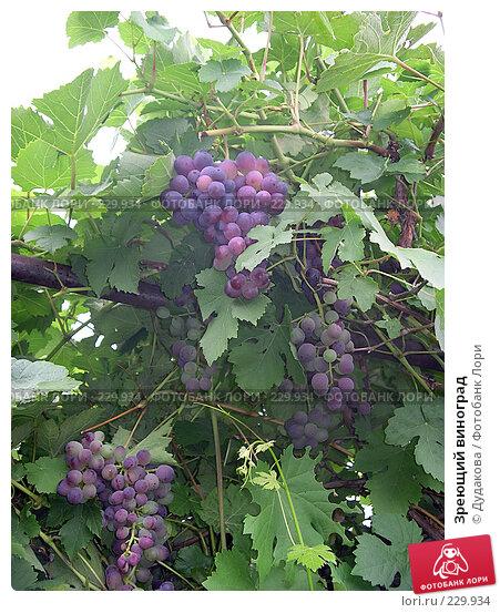 Купить «Зреющий виноград», фото № 229934, снято 26 августа 2007 г. (c) Дудакова / Фотобанк Лори