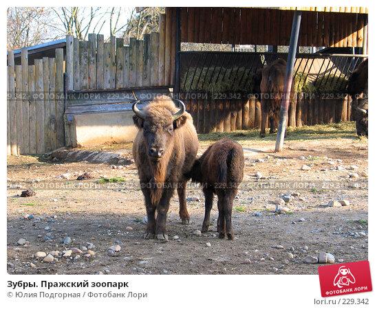 Купить «Зубры. Пражский зоопарк», фото № 229342, снято 15 марта 2008 г. (c) Юлия Селезнева / Фотобанк Лори