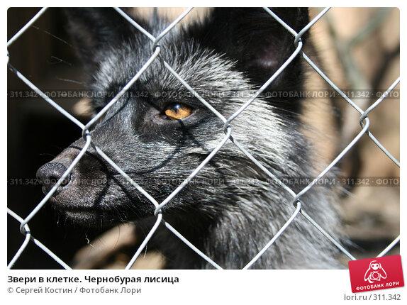 Купить «Звери в клетке. Чернобурая лисица», фото № 311342, снято 24 мая 2008 г. (c) Сергей Костин / Фотобанк Лори
