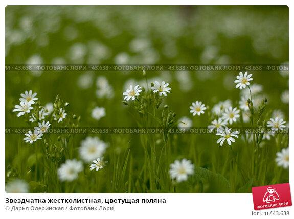Звездчатка жестколистная, цветущая поляна, фото № 43638, снято 13 мая 2007 г. (c) Дарья Олеринская / Фотобанк Лори
