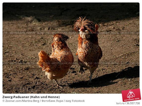 Zwerg-Paduaner (Hahn und Henne) Стоковое фото, фотограф Zoonar.com/Martina Berg / easy Fotostock / Фотобанк Лори